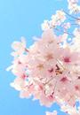 【2021年版】横浜のおすすめ桜スポット&名所 28選
