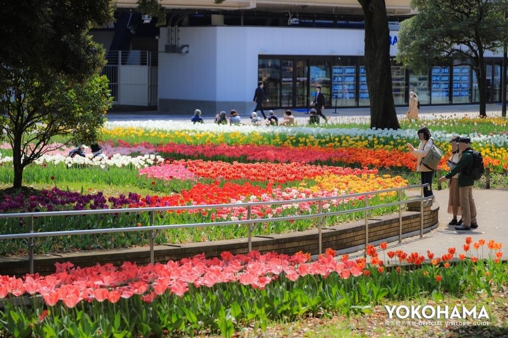横浜公園に一面のチューリップが満開! 色とりどりのチューリップ散歩