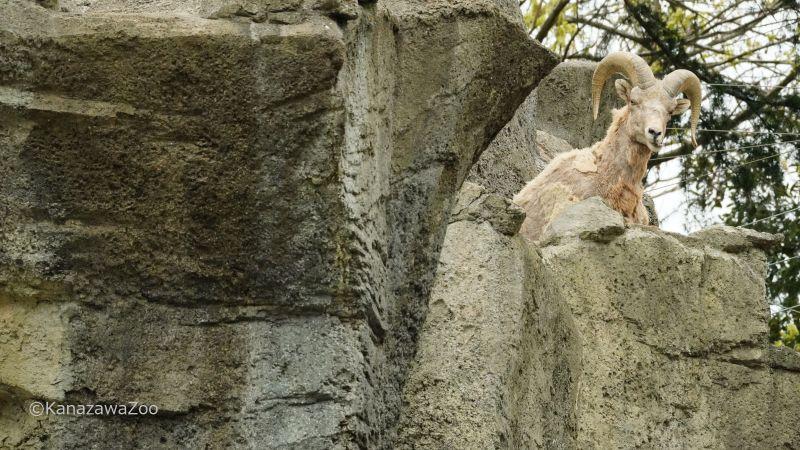 金沢動物園「オオツノヒツジ」