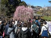 第32回大倉山観梅会
