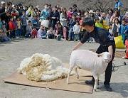 桜と羊のフェスティバル