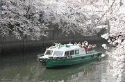 横浜大岡川 桜満開クル-ズ