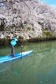 春の大岡川桜SUPツアー