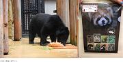 野毛山動物園 ニホンツキノワグマ誕生日会